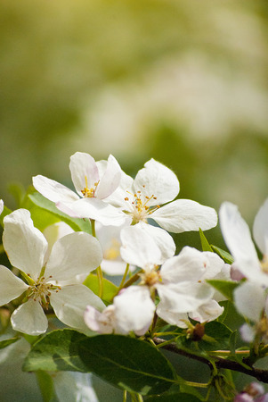 pastel colour: apple blossoms in a botanical garden in Kiev