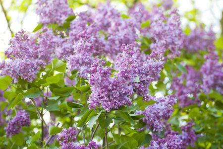 botanic: purple lilacs blooming in the Kyiv botanic garden