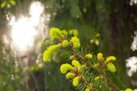 tree  pine: licitar brotes verdes de abeto en el parque de la ciudad Foto de archivo