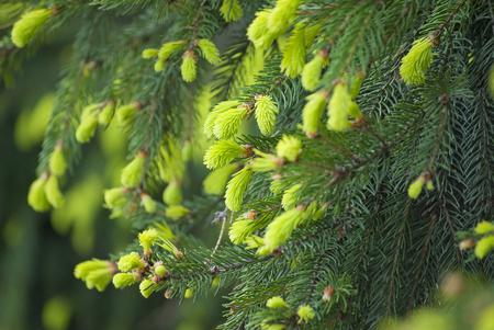 corona navidad: licitar brotes verdes de abeto en el parque de la ciudad Foto de archivo