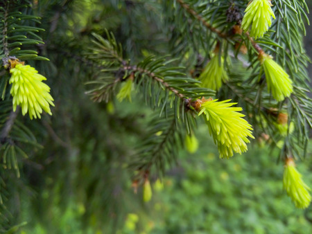 green forest: tender green shoots of spruce in the city park