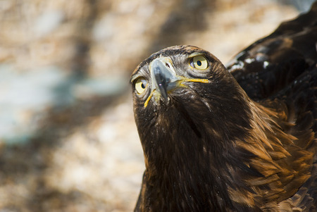 aviary: Golden Eagle in the Kiev zoo resting in the aviary