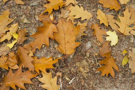 late fall: Orange oak leaves on the ground late fall Stock Photo