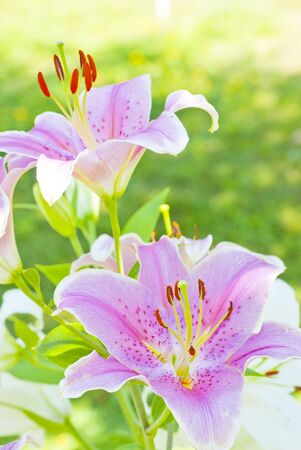 delicate: delicate pink lily blossoms among the leaves