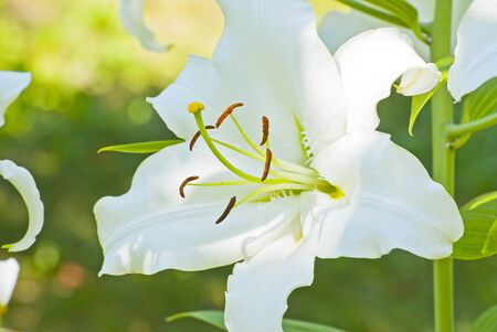 delicate: delicate white lily blossoms among the leaves