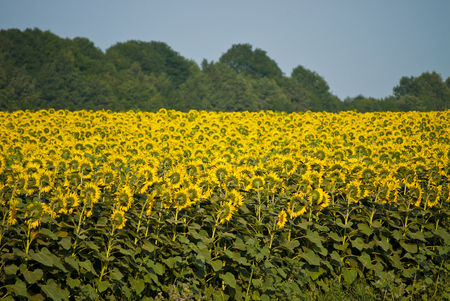 out of town: field of sunflowers blooming clear day out of town