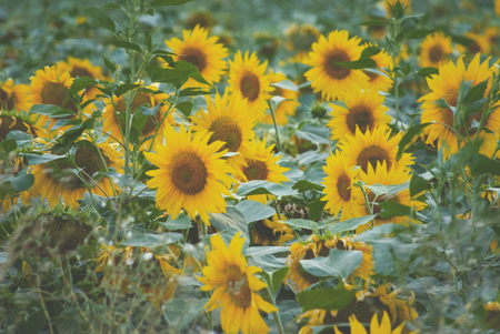 out of town: field of sunflowers blooming out of town in late summer