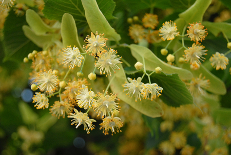 limetree: fragrant linden flowers blooming in the early spring