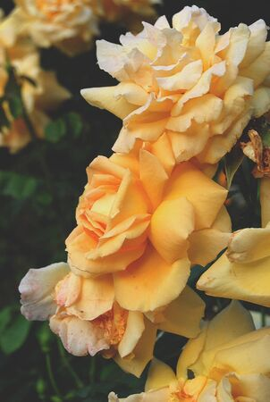 art processing: yellow rose on a summer evening, art processing of photos, filters Stock Photo