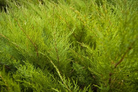 thuja occidentalis: green thuja tree branches close up details as background image