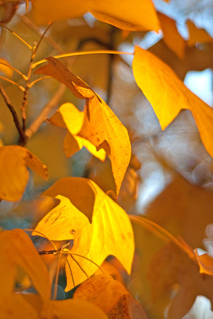 alder tree: Bright yellow leaves on the tree, late autumn