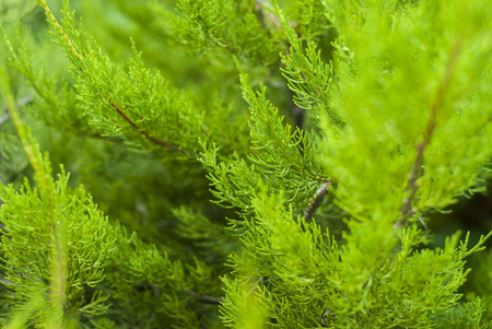 thuja occidentalis: bright green background with green branches of thuja Stock Photo