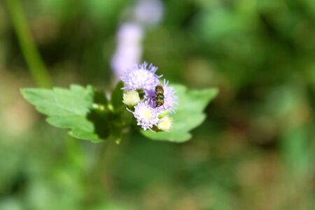 Fly flutters by Ageratum conyzoides L. or tropical white weed, tropical ageratum, billy goat weed photo