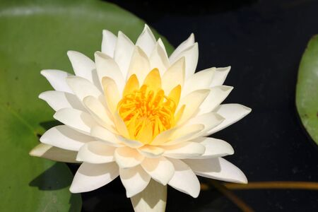White lotus used as buddhist worship in Thailand Stock Photo - 7942214