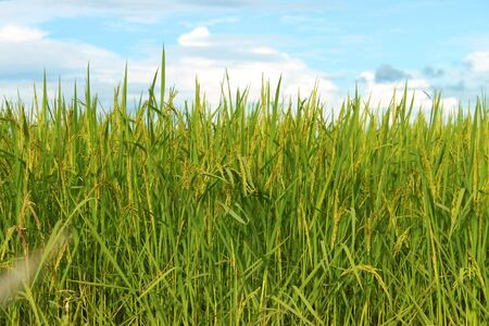 Young spike or ear of rice in rich jasmine rice field  photo