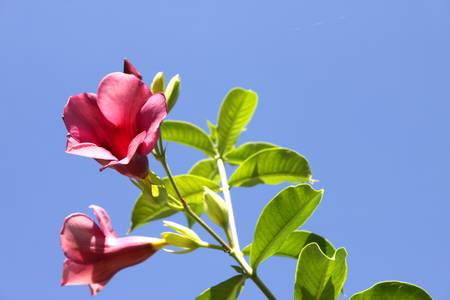cathartic: willow-leaved climber or flowering plant or cathartic under the color blue background Stock Photo