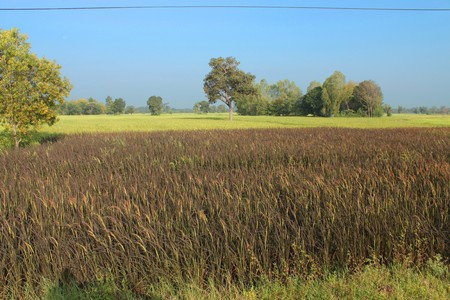 Black Glutinous Rice Field photo