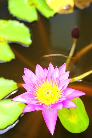 Water lotus lily photo