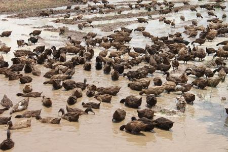 Duck farming photo