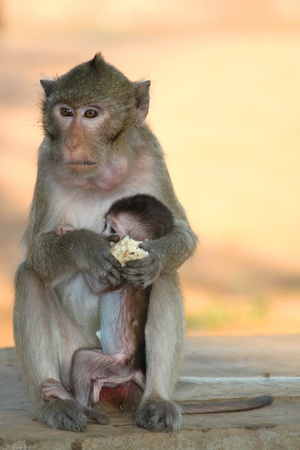 Long-tailed Macaque  photo
