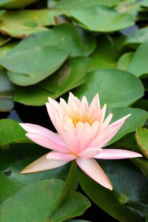 Water lotus lily Stock Photo - 9436640