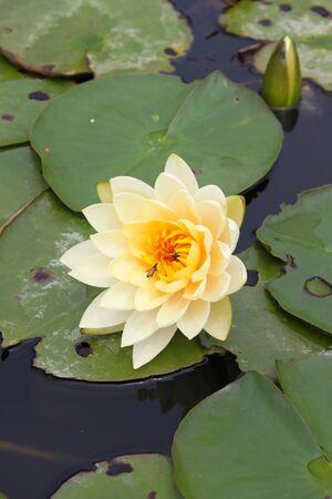 Water lotus lily Stock Photo - 9436636