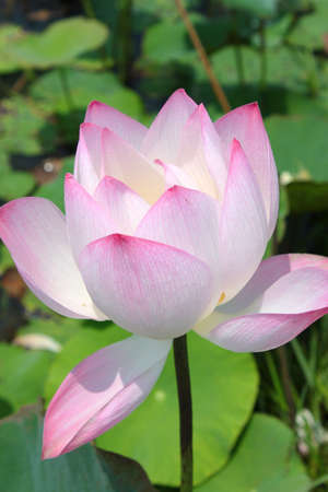Water lotus lily photo