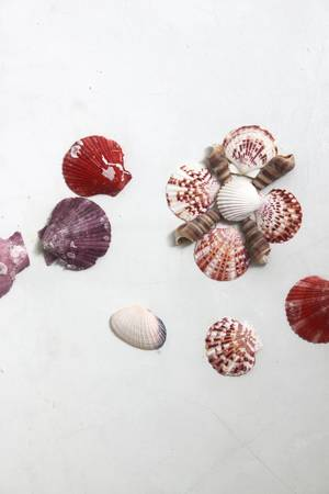 shells on wall background  photo