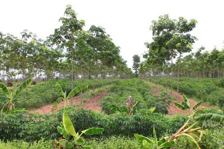Cassava field growing in rubber tree plantation photo