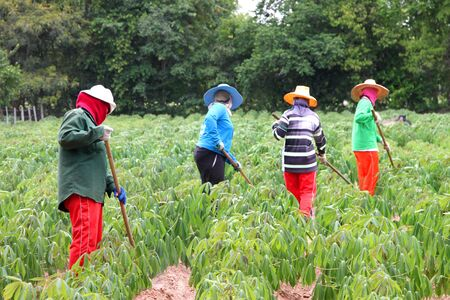 Workers in cassava field photo