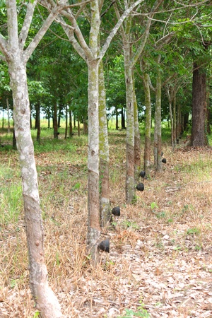 Rubber tree Stock Photo - 9858041