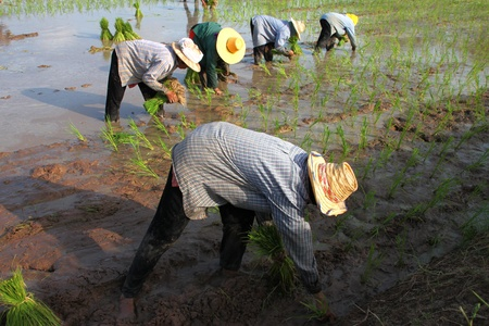 Farmers are working in jasmine rice field photo