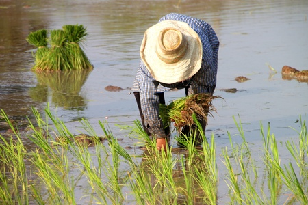 Farmer is working in jasmine rice field Stock Photo - 9970742