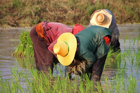 Farmers are working in jasmine rice field Stock Photo - 9970733