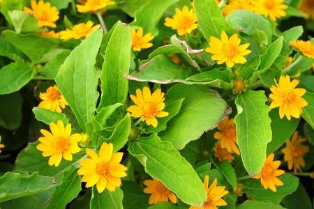 pers: Melampodium divaricatum  (Pers.) DC.