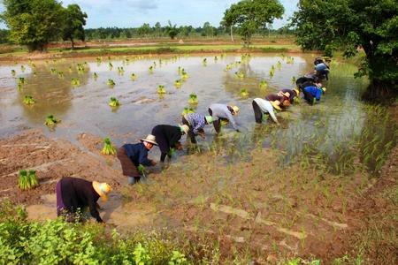 cooperating: MAHASARAKAM THAILAND - JULY 19 : Farmers are cooperating in growing jasmine rice in plantation ( Long Khaek Dam Na) on July 19, 2011  at  Mahasarakam, Thailand.