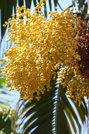 A kind of yellow betel palm flowers and fruits  photo