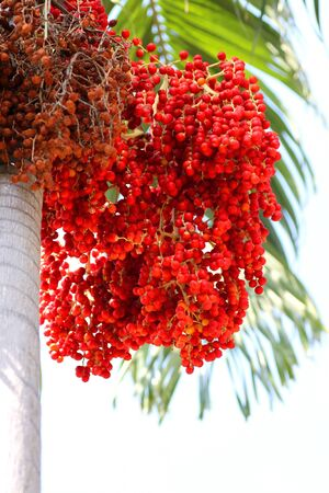 A kind of red betel palm flowers and fruits  photo