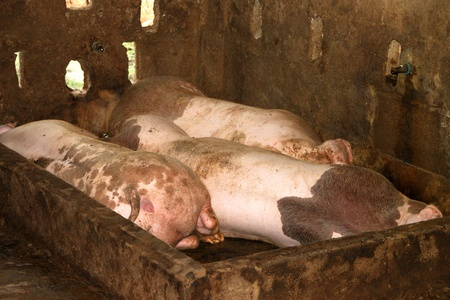 Three pigs are sleeping in cool and wet stable