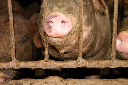 Three pigs are waiting for some food in cool and wet stable Stock Photo - 10331933
