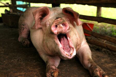 gape: A big pig is feeling sleepy in cool and wet stable