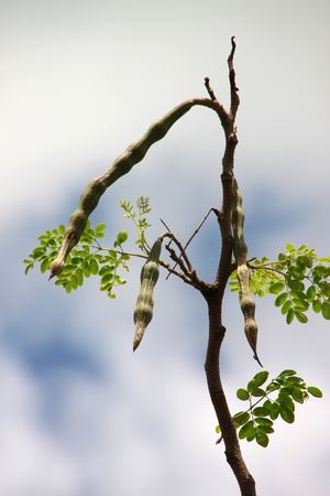 A picture of Marum pods - Moringa oleifera Lam. or Horse Radish Tree Stock Photo - 10335937