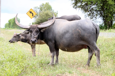 Buffaloes are standing in a field near local road Stock Photo