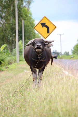 A buffalo is standing in a field near local road Stock Photo - 10493925