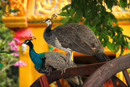 Wild peococks are relaxing on chair in tropical forest Buddhist sanctuary, North-East of Thailand photo