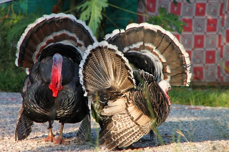 A picture of tropical turkey in rural area photo