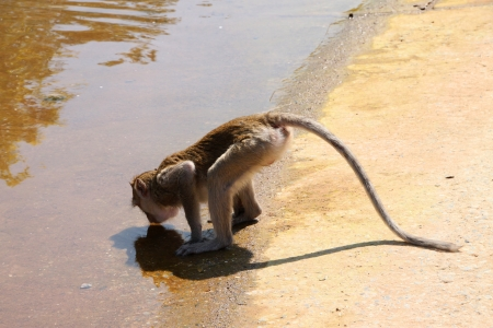 Long-tailed Macaque or crab-eating monkey in tropical rain forest is drinking water