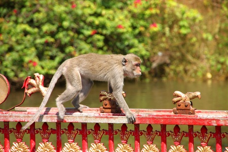 Long-tailed Macaque or crab-eating monkey in tropical rain forest is walking on over metal fence photo