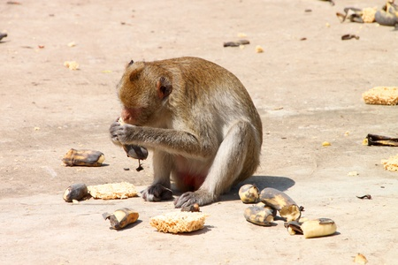 Long-tailed Macaque or crab-eating monkey in tropical rain forest park is eating a ripe banana photo