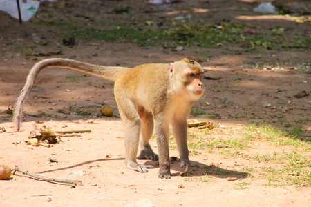 Long-tailed Macaque or crab-eating monkey in tropical rain forest park photo